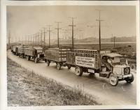 A caravan of early 1900s Packard trucks fully loaded and pulling extra trailers
