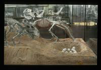 View of Dinosaur Skeletons in an Exhibit