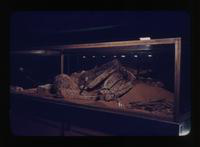Closer View of the Mammoth Cave Mummy Display
