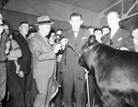 Scripps William E. Cattle Champion Steer Michigan State Fair . 7  neg