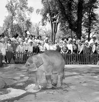 "Belle Isle; Children's Zoo. -Baby Elephant, ""Suki"""