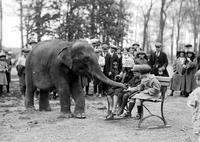 Animals; Elephants; Sheba; Belle Isle Zoo; Sheba Being Fed by Children