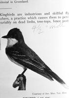 Birds; Kingbird. Copy from book.