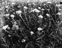 Scripps, William E. Farm showing weeds in clover.