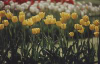Michigan; Cities; ; Holland; Tulip Festival 1977.